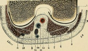 Anatomie genou