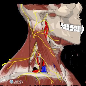 Plexus cervical schema quincy