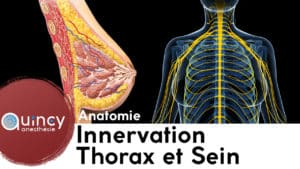 Innervation thorax et sein